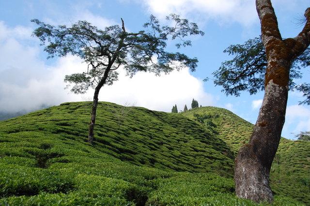 Teegarten in Nepal
